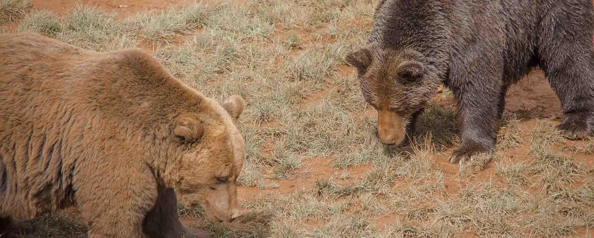 osos cantabria